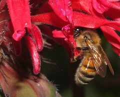Honey Bee Feeding on a Crimson Red Bee Balm Flower DSCF0660 (Ted_Roger_Karson) Tags: supermacro honeybee raynoxdcr150 northernillinois handheldcamera beebalmflowers beebalmflower fujifilmxs1