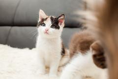 Megan (socreative) Tags: pet baby pets cute beauty fur pretty small kitty fluffy kitteh meow cuteness