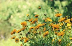 Gelbe Blmchen (Anja van Zijl) Tags: park flowers nature flora natur blumen bloemen blmchen