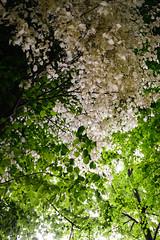 Albino Lindenbltter (Manuel Eumann) Tags: white tree green nature landscape leaf nikon linden natur albino grn landschaft bltter schleswigholstein linde norddeutschland weis d610 pln manueleumann
