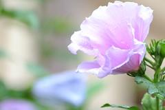 DSC_0045 (mettlog) Tags: flower macro dew fiore acqua rugiada goccie