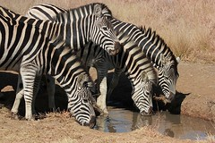 Zebra quenching their thirst at a small stream (Pixi2011) Tags: zebra wildlife rietvleinr ngc npc allnaturesparadise coth5