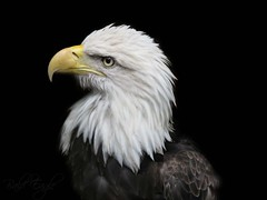 The bald eagle (Mel's Looking Glass) Tags: bald bird prey freedom america symbol national united states