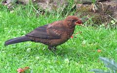 All mine! (Deida 1) Tags: juvenileblackbird cherry fruit turdosmerula garden uk stafforshire rain