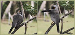 Noisy Miner (Brissy Girl - Jan, coming and going :-)) Tags: cute bird australia noisy noisyminer manorinamelanocephala seqld familymeliphagidae