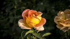 Rosa en Parque Maria Luisa