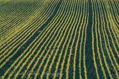 _A5B4211-5.jpg (w11buc) Tags: sunset field evening farm seed crop fields agricultural stcombs
