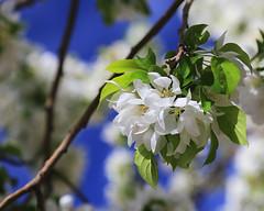 Apple Blossom, SUU Campus, 5 April 2015 (Bob Palin) Tags: 15fav usa flower apple 510fav canon utah spring blossom ironcounty cedarcity club100 100vistas instantfave canonef24105mmf4lisusm suucampus orig:file=2015040500782adjust1024