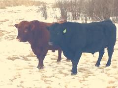 Some Bulls