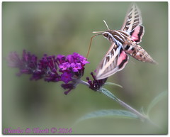 White-lined Sphinx Moth / Hyles lineata (ctofcsco) Tags: bokeh canon colorado coloradosprings explore explored geo:lat=3893083778 geo:lon=10489145278 geotagged gleneyrie nature northamerica telephoto unitedstates usa wildlife 1d 1div eos1dmarkiv eos1d f5 1800s iso800 ef180mmf35lmacrousm14x ef180mmf35lmacrousm 180mmmacro 180mm ef180mm macro closeup teleconverter extender extenderef14xii 14x mark4 markiv ef14xii ef14x ngc best wonderful perfect fabulous great photo pic picture image photograph
