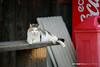 瀬戸の島猫 (GINPA 銀波) Tags: cat sony ho ねこ 瀬戸内海 α 島猫 瀬戸の島猫