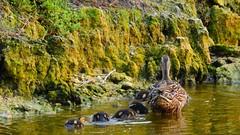 The Mallard Family (Jim Mullhaupt) Tags: wallpaper lake bird nature water landscape duck pond nikon flickr florida wildlife ducklings p900 swamp coolpix mallard bradenton mallardduck mullhaupt nikoncoolpixp900 coolpixp900 nikonp900 jimmullhaupt