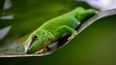 Push-up Gecko