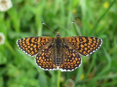 Melitaea cinxia (Male) (Lepsibu) Tags: nymphalidae