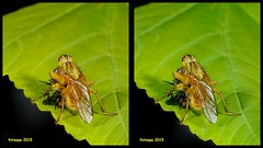 3D cross-view L40_0185 (fotoopa) Tags: macro inflight 3d insects laser highspeed flyinginsects highspeedflash 3dphotography vliegende insectsinflight vliegend 3dmacro highspeedcapture picturesinflight highspeedmacro af10528dmicro fotoopa inflightinsects lasercontrol lasertriggered vliegendeinsecten laserdetection 3dinsects 3dinflight lasercamera flyinghighspeedinsects highspeedlaserdetector irlaserdetection multiplelaserdetection insectenfotografie vliegendebeestjes fotosvliegendeinsecten picturesinflightinsects
