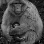 Barbary macaque and baby at Trentham Monkey Forest thumbnail
