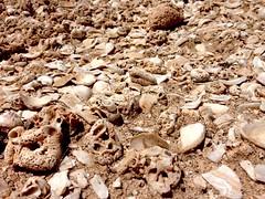 Canarian Shells (Opalyne) Tags: fuerteventura shell loslobos conchiglie canarie