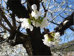 Flores del cerezo. (margabel2010) Tags: flores madera flora rboles valles airelibre negroyblanco cerezos valledeljerte cerezosenflor frutales rbolesfrutales rbolesenflor vallecereza