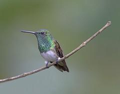 snowy-bellied hummingbird (hawk person) Tags: panama cerroazul canopytower snowybelliedhummingbird alexsanchez amaziliaedward