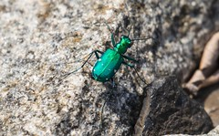 7K8A4509 (rpealit) Tags: nature scenery wildlife tiger beetle hatchery sixspotted pequest
