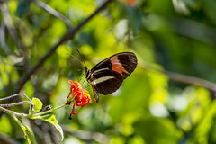 Butterfly (sostenesmonteiro) Tags: flowers flores flower nature butterfly nikon natureza flor borboleta borboletas d5200 sostenesmonteiro totecmt