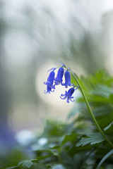 Bluebell 1 (lindabosmuis) Tags: blue plant flower macro forest canon blauw belgium belgie 100mm bos bluebell rare hallerbos 6d hyacint plantje zeldzaam