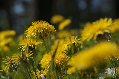 Waldwiese (sirona27) Tags: wiese mai gelb grn sonne insekten frhling nektar blten lwenzahn
