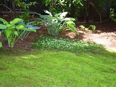 Partridge Berry (Dennis Peatee) Tags: moss hosta partridgeberry mitchellarepens pleurocarp sixpoplars
