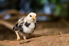 IMG_3964 (The.Rohit) Tags: cliff bird chicken nature hawaii view oahu lookout chick koolau vista aloha nuuanupalilookout windwardcoast