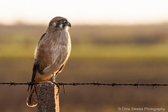 Brown Falcon (chrissteeles) Tags: bird birding raptor falcon backlit sa southaustralia birdofprey hamley brownfalcon hamleybridge