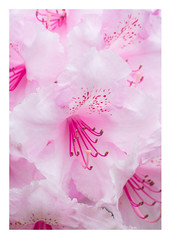 150/366: Pretty in pink (judi may) Tags: pink flowers closeup 50mm border rhododendrons pinkrhododendrons canon7d day150366 366the2016edition 3662016 29may16