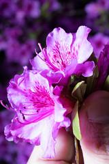Pentax K-1 Macro Tests, A walk through the garden and woods with the Pentax-FA 50mm f/2.8 macro (B. Gohacki) Tags: flowers plants macro digital forest pentax flash dslr ricoh strobe k1 50mmf28 smcpentaxfa