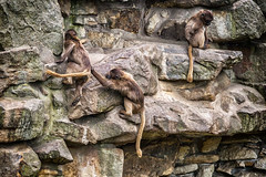 Zoo Rheine - Blutbrustpaviane_IMG_3875 (milanpaul) Tags: germany deutschland zoo mai frhling affe naturpark rheine niedersachsen 2016 sugetier primaten canoneos6d canonef70200mm4lisusm