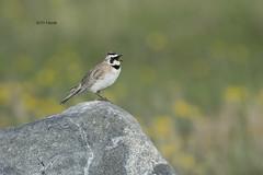 Horned Lark (featherweight2009) Tags: birds songbirds larks hornedlark eremophilaalpestris