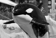 Jump (orcamel30) Tags: show reflex jump nikon noir photographie dolphin orca behavior parc dauphin blanc antibes representation marineland saut orcamel spectacle biot orque majestueux 55300 d7100 wikie comportement epaulard orcamel30