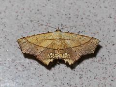 Drepanidae ? Gogana sp ? (Green Baron Pro) Tags: 200902 moth needid frasershill brinchang drepanidae malaysia