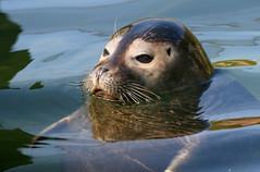 Navy S.E.A.L. (Ger Bosma) Tags: water head seal harbourseal surfacing seehund zeehond commonseal phocavitulina gewonezeehond  focacomune focacomum phoqueveaumarin fokapospolita focacomn 2mg176318filtered
