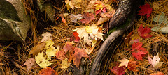MN_1194a_20141004_3312x7360.jpg (Joe Mamer) Tags: autumn red plant tree fall minnesota leaf maple midwest colorful foliage acer northamerica colourful deciduous needles root mn minnesotalandscape