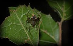 Australomimetus sp. (dustaway) Tags: nature rainforest australia nsw arthropoda rotarypark arachnida lismore araneae piratespider araneomorphae australianspiders mimetidae northernrivers australomimetus