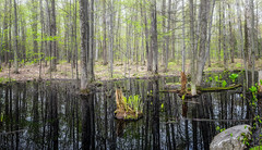 Miracles du printemps/Spring miracles/Varens mirakel-Explore (Elf-8) Tags: fern green forest spring pond swamp marsh refelction