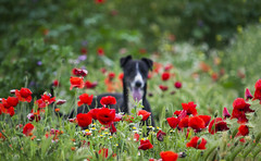 Sp. Mikka (cida..) Tags: spring nature flower flowers dog animal homeless shelter greyhound time art abandoned pet perro rescue spain green relax calm color colorful wild nice cute nikon nikonphotography day love adopt d3100 poppy landscape field