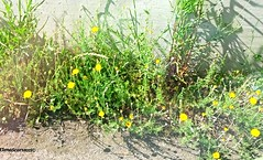 fiori abbandonati (Elena Scortecci) Tags: road flowers italy verde green abandoned grass yellow strada italia erba giallo fiori abbandono