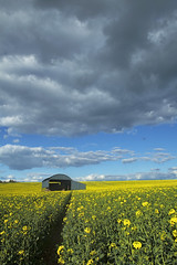 Barn 2016 Session (SedatPhotography) Tags: uk england field yellow clouds out landscape amazing day bluesky dorset agriculture rapeseed