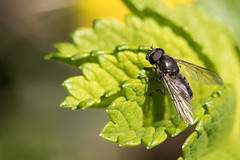 Cheilosia semifasciata / Vetplantgitje (peter.lindenburg) Tags: leiden hoverfly syrphidae zweefvlieg cheilosiasemifasciata vetplantgitje