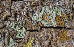 2016-05-02 23-40-34 (B,Radius20,Smoothing8)-Edit (Boy of the Forest) Tags: plants plant tree botanical bark vegetation environment lichen plantae botany lichens symbiotic symbiosis symbioticorganism