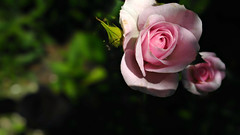 Pink roses (Marty_0722) Tags: life pink flowers roses flower love nature rose flora rosa natura fiori fiore vita
