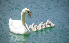 swan's family (15) (Vlado Ferenčić) Tags: birds animals lakes croatia swans animalplanet hrvatska nikond600 zaprešić swansfamily lakezajarki sigma150500563