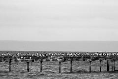 Cormoranes Antárticos (fotos sin sentido, solo fotos) Tags: canon eos para ds punta arenas ninteno dmarkii involudrad