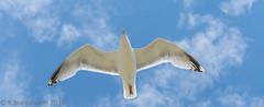 Meeuw (Kevin Boelhouwer) Tags: sea holland bird animal meeuw noord callantsoog