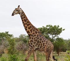 male giraffe (pixpeeper) Tags: giraffe pixpeeper safari animal africa girafe kruger zuidafrika afriquedusud southafrica